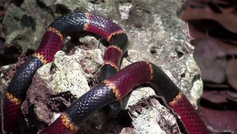 A-coral-snake-crawls-amongst-rocks