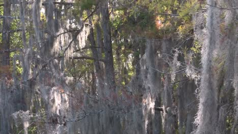A-POV-shot-traveling-through-a-swamp-in-the-Everglades-showing-Spanish-moss-1