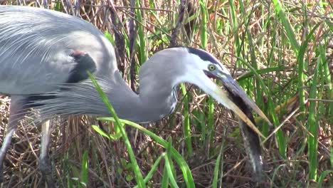 A-great-blue-heron-feeds-in-a-marshland