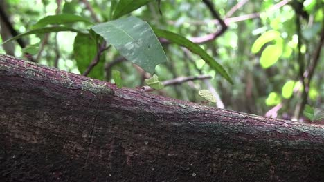 Thousands-of-leafcutter-ants-move-across-a-tree-branch-1