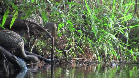 A-limpkin-on-the-shores-of-a-lake