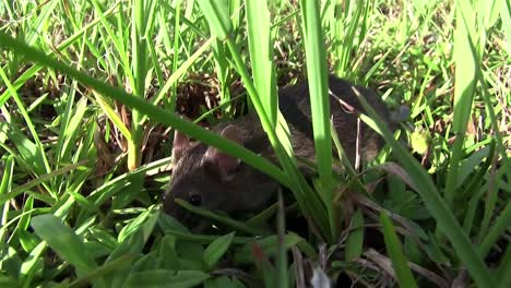 A-small-mouse-walks-in-green-vegetation-1