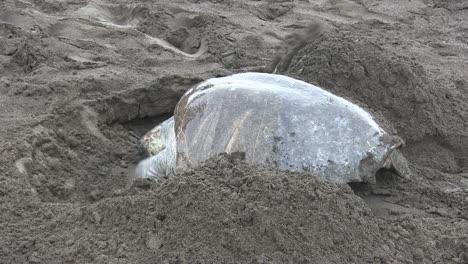 Tortugas-Marinas-Golfina-Se-Arrastran-Por-Una-Playa
