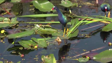 A-purple-gallinule-walks-in-a-swamp