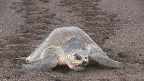 Tortugas-Marinas-Golfina-Suben-A-La-Playa-1
