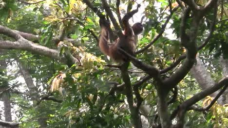 Spider-monkeys-play-in-a-tree