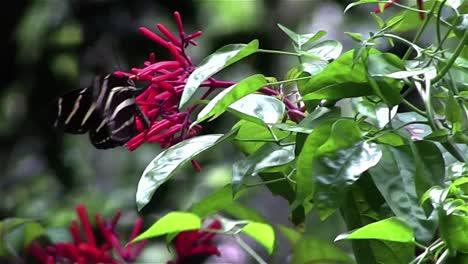 Una-Mariposa-Cebra-Se-Cierne-Cerca-De-Las-Ramas-1