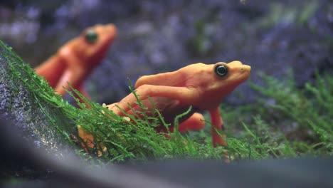 Beautiful-orange-frogs-in-the-rainforest