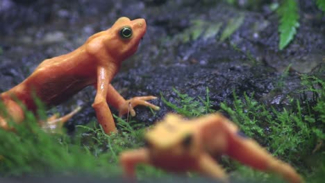 Beautiful-orange-frogs-in-the-rainforest-1