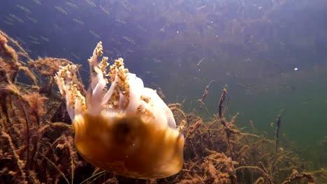 Vista-Submarina-De-Una-Medusa-Nadando