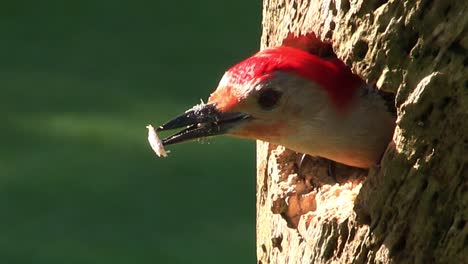 Beautiful-shot-of-a-red-bellied-woodpecker-arriving-at-its-nest-in-a-tree-and-feeding-its-young-1