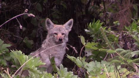 Ein-Kojote-Beobachtet-Seine-Umgebung-Von-Einem-Wald-Aus