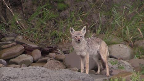 Ein-Kojote-Beobachtet-Seine-Umgebung-Von-Einem-Straßenrand-Aus