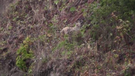 Ein-Kojote-Rennt-Einen-Berghang-Hoch