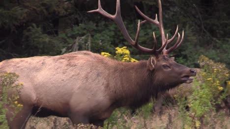 Elk-walk-through-a-clearing-1