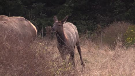 Elk-walk-through-a-clearing-2