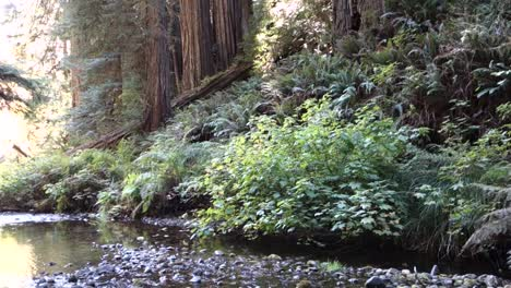 Tilt-down-from-redwood-trees-along-the-California-or-Oregon-coast
