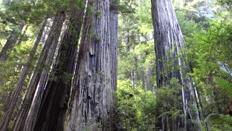 Tilt-up-to-redwood-trees-along-the-California-or-Oregon-coast