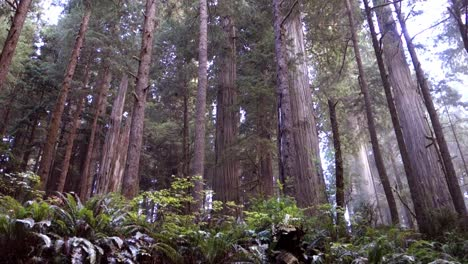 Tilt-up-to-groves-of-redwood-trees-along-the-California-or-Oregon-coast