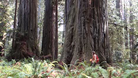 A-person-walks-through-groves-of-redwood-trees-along-the-California-or-Oregon-coast