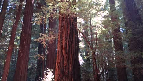 Pan-across-and-tilt-up-through-groves-of-redwood-trees-along-the-California-or-Oregon-coast