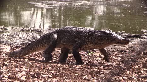 An-alligator-walks-in-a-swamp-in-the-Everglades