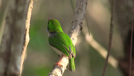 The-Cuban-tody-bird-poses-on-a-small-branch