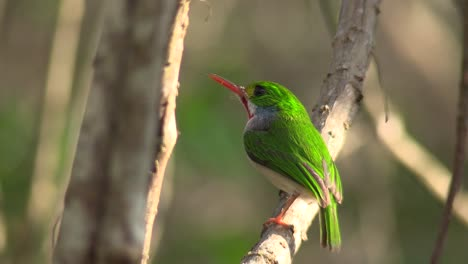 The-Cuban-tody-bird-poses-on-a-small-branch-1