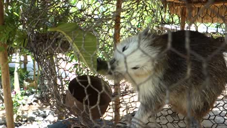 A-rare-Cuban-hutia-rodent-is-fed-in-a-cage