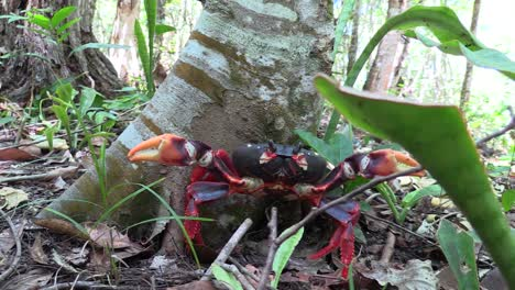 A-colorful-land-crab-poses-under-a-tree-in-a-forest