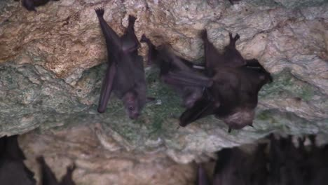 Close-up-of-fruit-bats-in-a-cave-in-Cuba-1