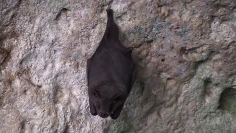 Close-up-of-fruit-bats-in-a-cave-in-Cuba-2
