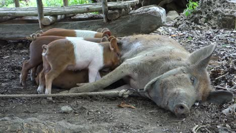 Baby-pigs-suckle-at-the-mother-s-breast-on-the-farm