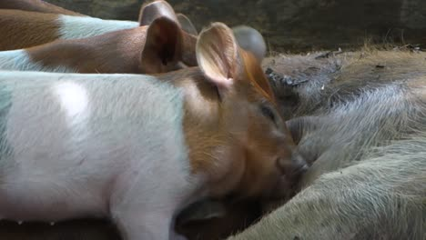 Baby-pigs-suckle-at-the-mother-s-breast-on-the-farm-1