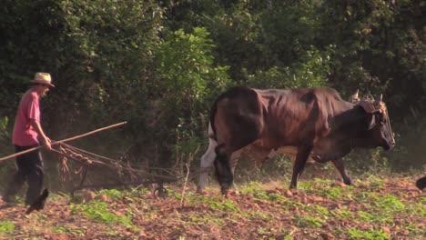 Ein-Kubanischer-Bauer-Pflügt-Seine-Felder-Mit-Ochsen-Von-Hand