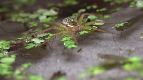 A-fisher-spider-hunts-in-a-shallow-pond