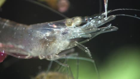 Extreme-close-up-of-a-glass-shrimp-underwater
