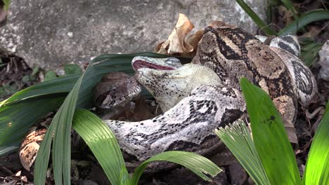 Extreme-close-up-of-a-python-eating-an-iguana-whole-