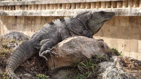 Primer-Plano-De-Una-Iguana-Sentada-Sobre-Una-Roca