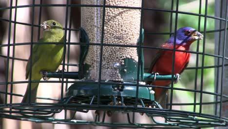 Dos-Pájaros-Cantores-Del-Empavesado-Pintado-De-Colores-Se-Sientan-En-Una-Jaula
