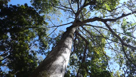 Low-angle-view-under-the-ceiba-tree-towards-canopy