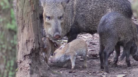 Collared-peccaries-a-type-of-wild-pig-or-boar-are-seen-in-a-forest-in-Central-or-South-America