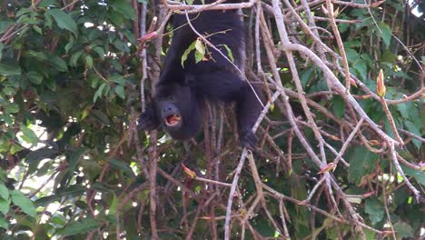 A-howler-monkey-plays-in-the-jungles-of-the-Mexican-Yucatan