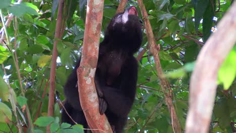 A-howler-monkey-calls-out-in-the-jungles-of-the-Mexican-Yucatan