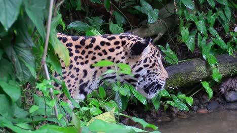A-beautiful-jaguar-walks-through-a-river-in-the-jungle-2