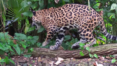 A-beautiful-jaguar-walks-through-a-river-in-the-jungle-3