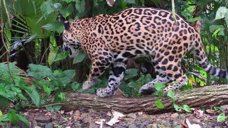 Un-Hermoso-Jaguar-Camina-Por-Un-Río-En-La-Selva-3