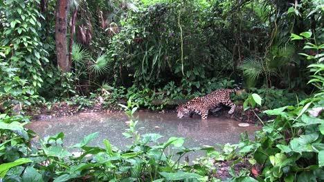 A-beautiful-jaguar-lies-drinks-at-a-watering-hole