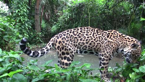 A-beautiful-jaguar-lies-drinks-at-a-watering-hole-1