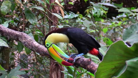 A-keel-billed-toucan-sits-on-a-branch-in-the-jungle